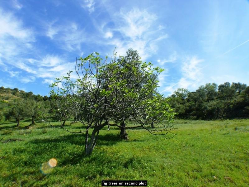 fig trees on second plot