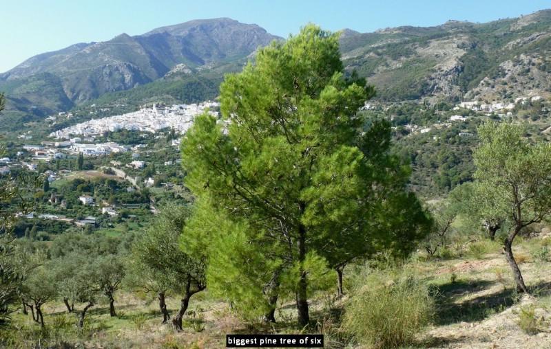 biggest pine tree of six